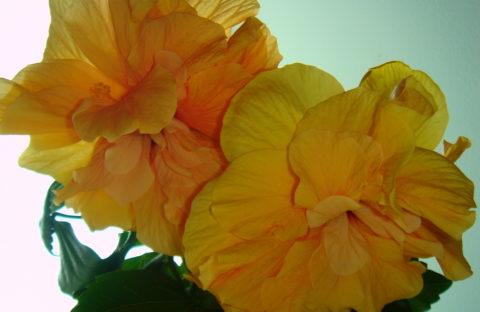 Гибискус желто-персиковый махровый (укорененный черенок)