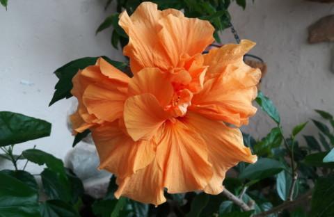 Гибискус Laluna оранжевый махровый (укорененный черенок)