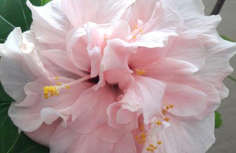 Гибискус Double Pink кремово-розовый махровый (укорененный черенок)