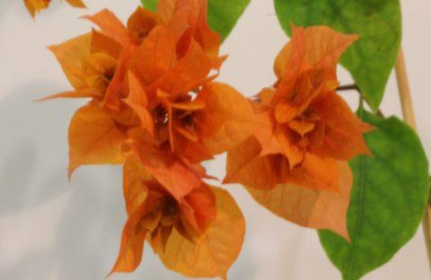Double Orange оранжевая махровая (укорененный черенок)