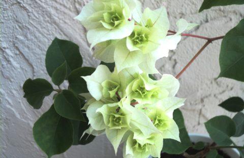 Limberlost Beauty белая махровая (укорененный черенок)