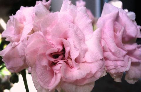 Millfield Rose (иви-гибрид) укорененный черенок