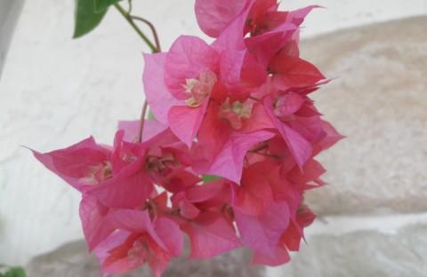 Double Lilarose розовая махровая (укорененный черенок)