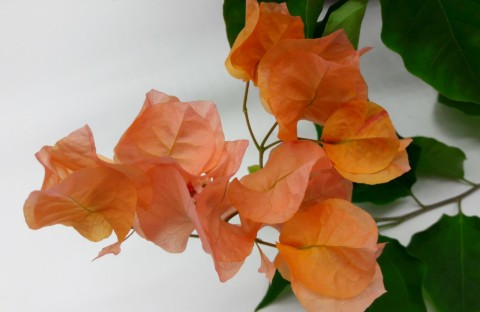 Dusty Miller бугенвиллия оранжевая (укорененный черенок)