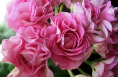 Swanland Pink (розовидная)
