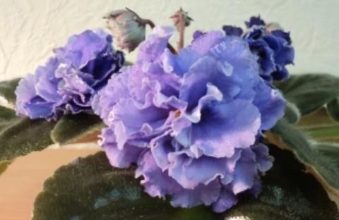 ЕК-Розы для Русалки (укорененный лист)