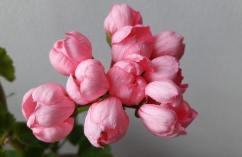 Pink Pandora (тюльпанная) укорененный черенок