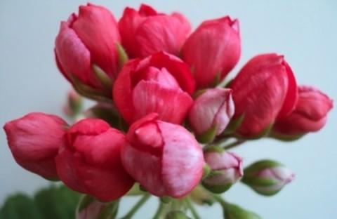 Red Pandora (тюльпанная) укорененный черенок