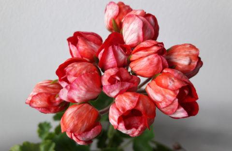 Victoria Andrea (тюльпанная) укорененный черенок