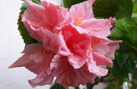 Гибискус Zaragoza розовый махровый (укорененный черенок)
