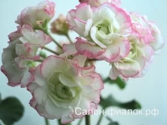 Appleblossom Rosebud (розовидная) укорененный черенок