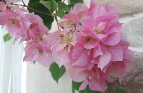 Double Pink махровая нежно-розовая бугенвиллия (укорененный черенок)
