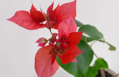 Double Red красная махровая (укорененный черенок)