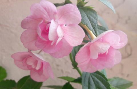 Double Pink Rose махровый (ризома)