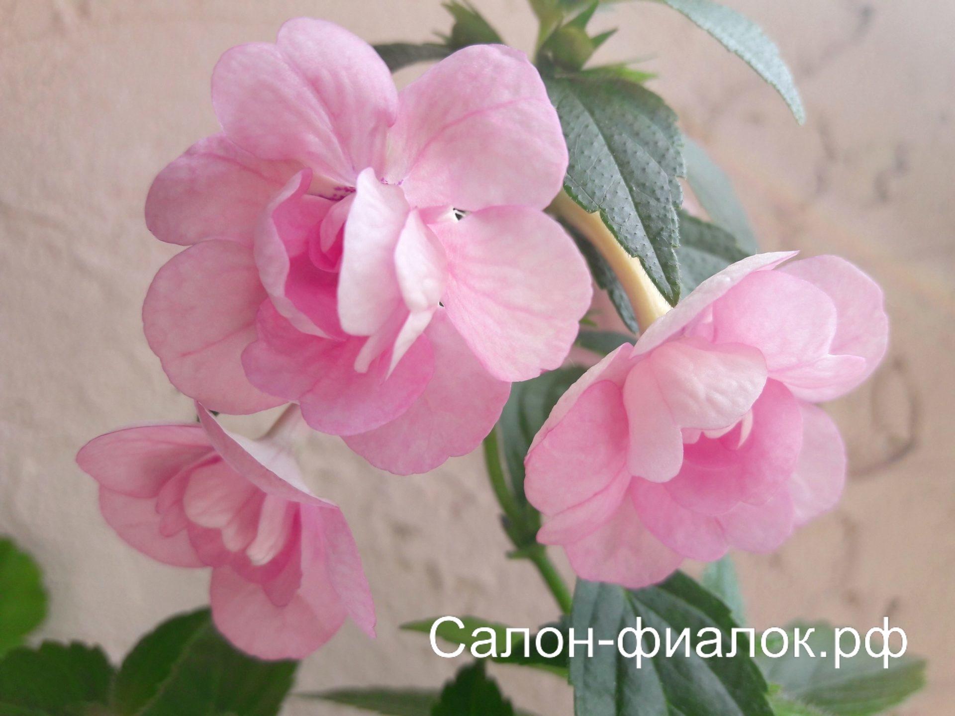 Double Pink Rose (пророщенная ризома)