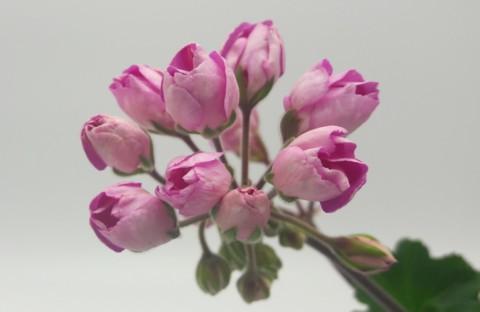 Linnea Andrea (тюльпанная) укорененный черенок