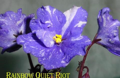Rainbow Quiet Riot (детка)