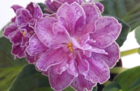 ЛЕ-Марципановая роза (лист)