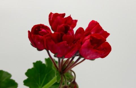 Carmen Andrea (тюльпанная) укорененный черенок