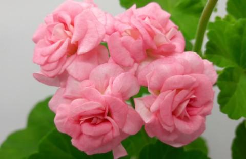 Grainger`s Antique Rose (розовидная) укорененный черенок