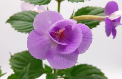 Lavender Fizz (пророщенная ризома)