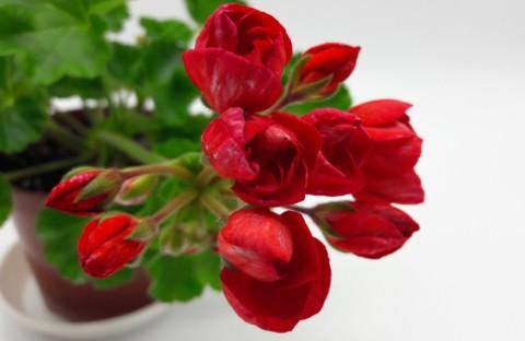 Mrs.Carles (тюльпанная карликовая) укорененный черенок