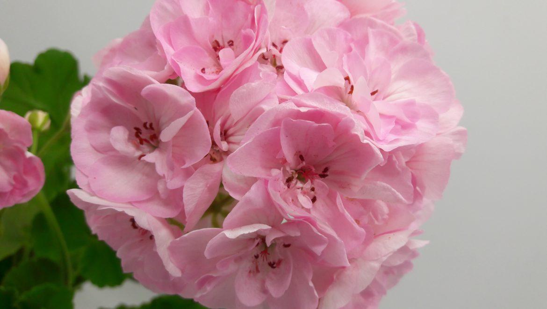 Таира-Крымская Роза новинка каталога укорененный черенок