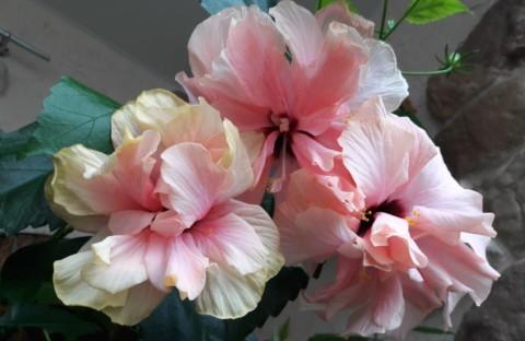 Гибискус светло-розовый махровый (укорененный черенок) новинка каталога