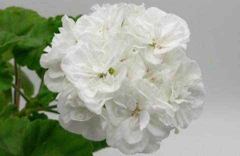 Gardenia укоренный черенок