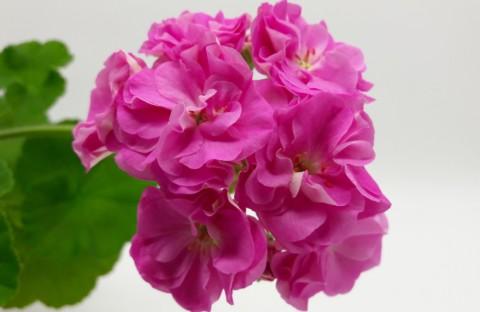 Ю-Дикая Роза новинка каталога укорененный черенок