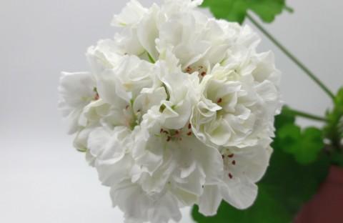 ОЧ-Madpearl White (карликовая) укорененный черенок