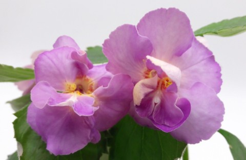 Blue English Rose (пророщенная ризома) новинка каталога