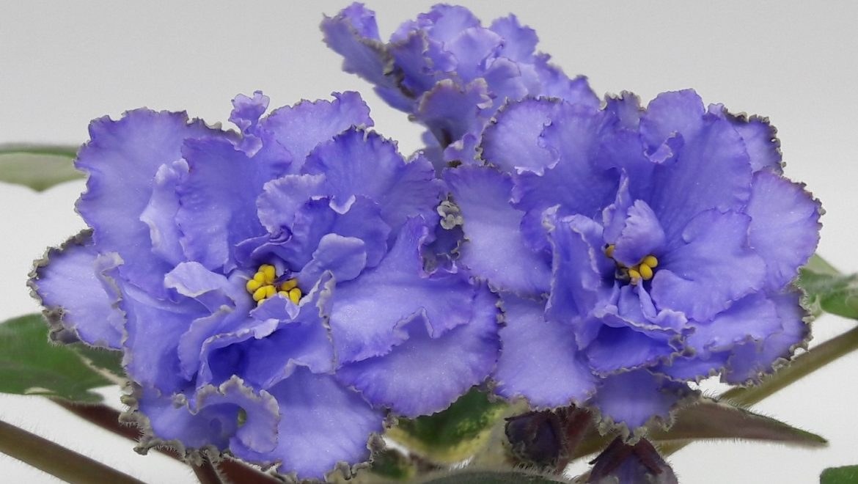 ЕК-Голубая Красавица Азии (лист) новинка каталога