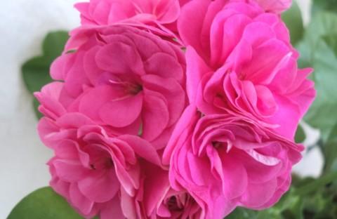PAC Pink Sybil (плющелистная) укорененный черенок