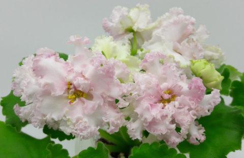 ЛФ-Розовый Мусс (детка) новинка каталога