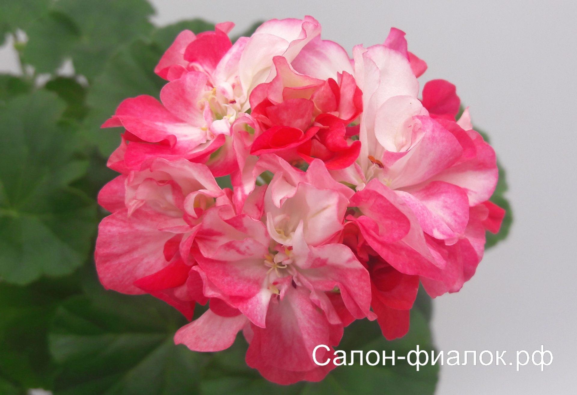Dusty Rose (карликовая) укорененный черенок
